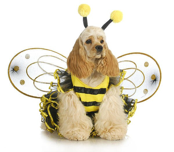 Halloween dog-fancy-bee costume