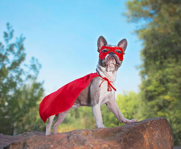 Halloween french-bulldog-Superhero costume